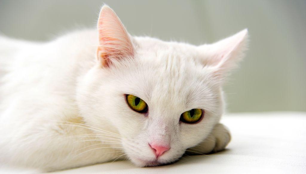 При хроническом стоматите большинство ветеринаров советуют удалить у кота все зубки