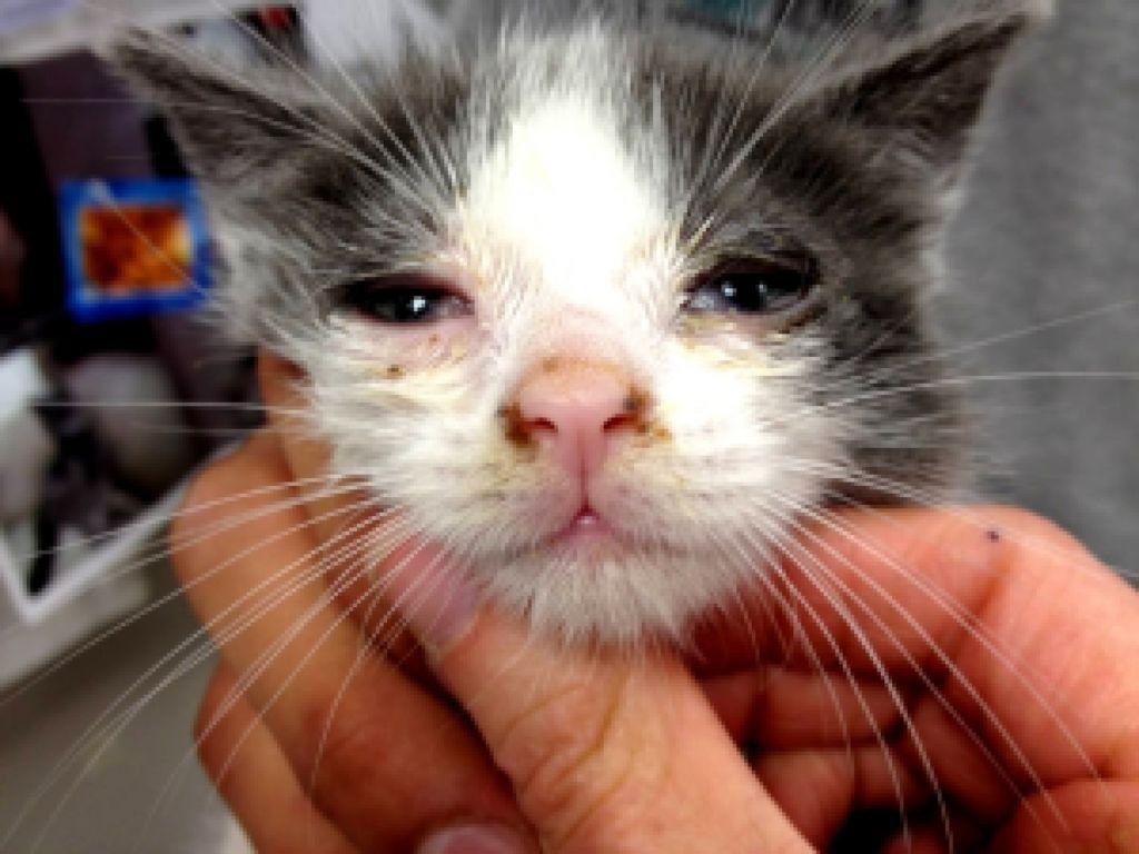 Признаки кошачьей чумки