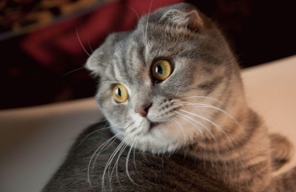Шотландские кошки от природы наделены крепким здоровьем