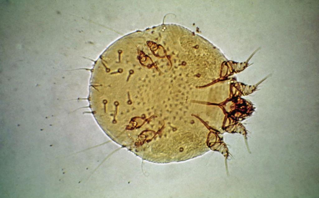 Возбудители саркоптоза - клещи Sarcoptes
