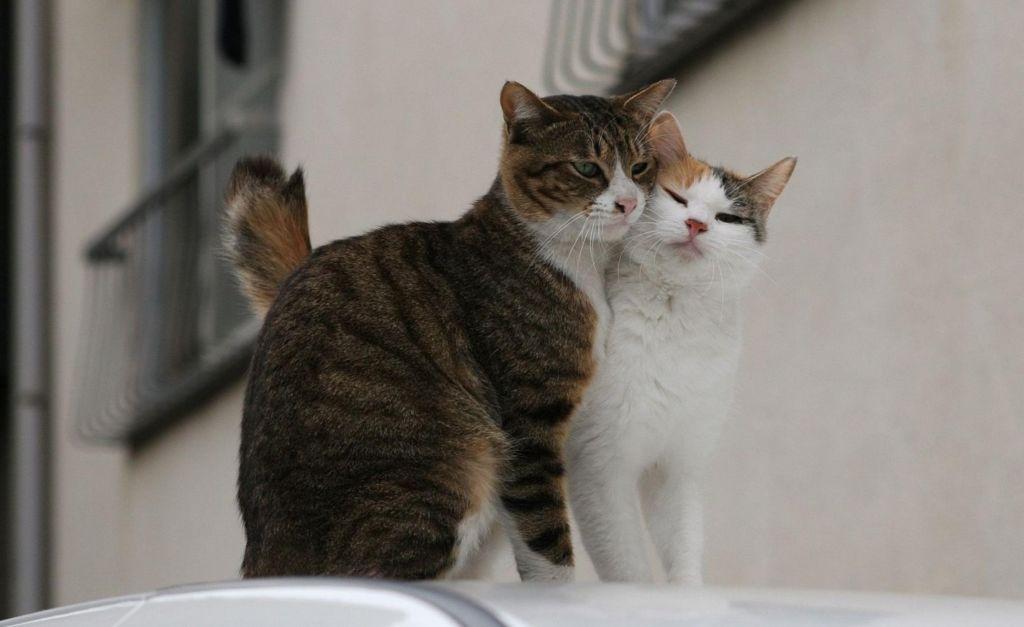 Нотоэдроз передается при близком контакте между животными