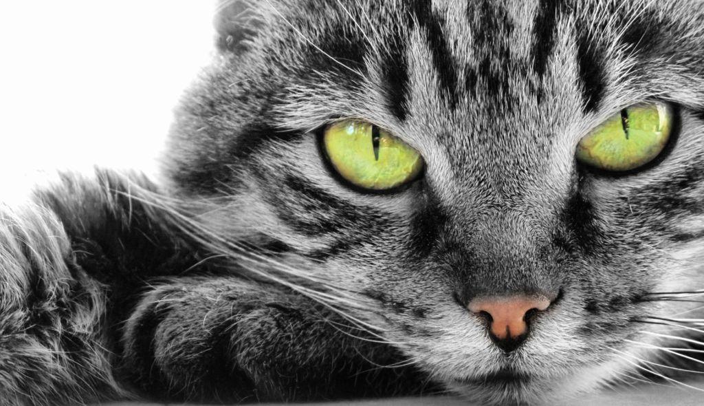 Чем и как правильно вылечить конъюнктивит у кошек и котов