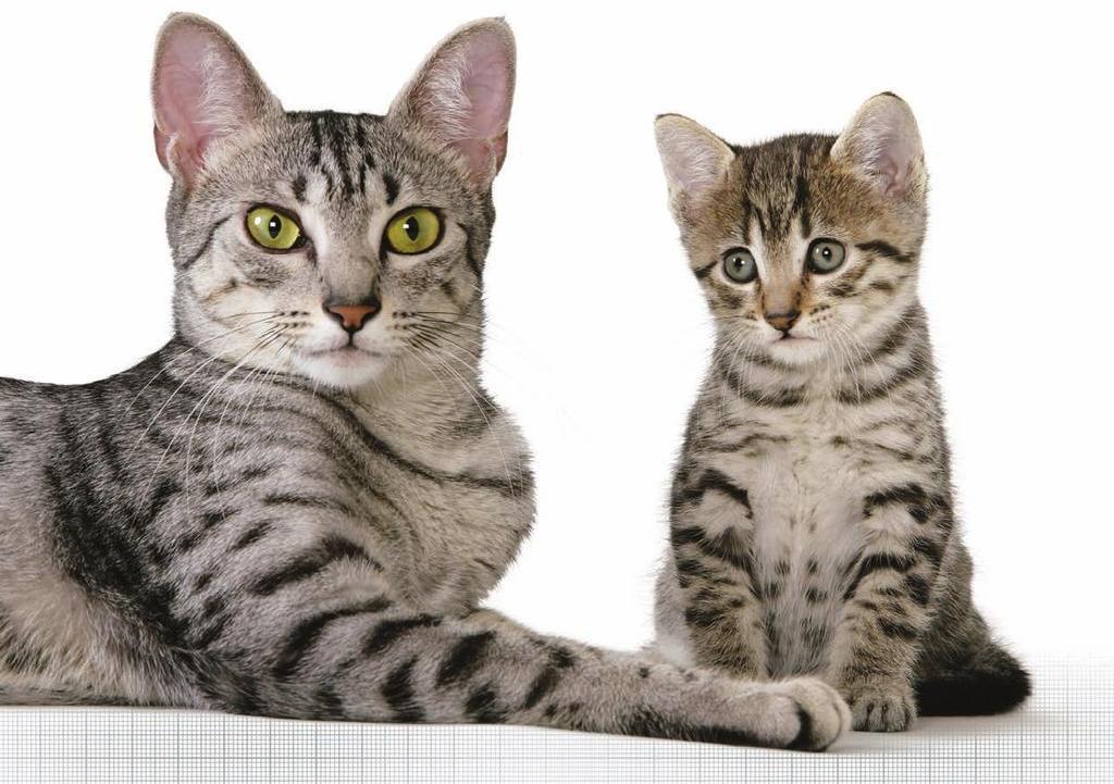 Сахарный диабет у кошек обусловлен генетической предрасположенность