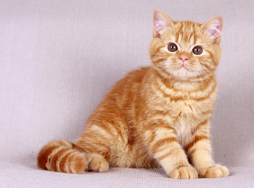 Кремовый окрас британской кошки