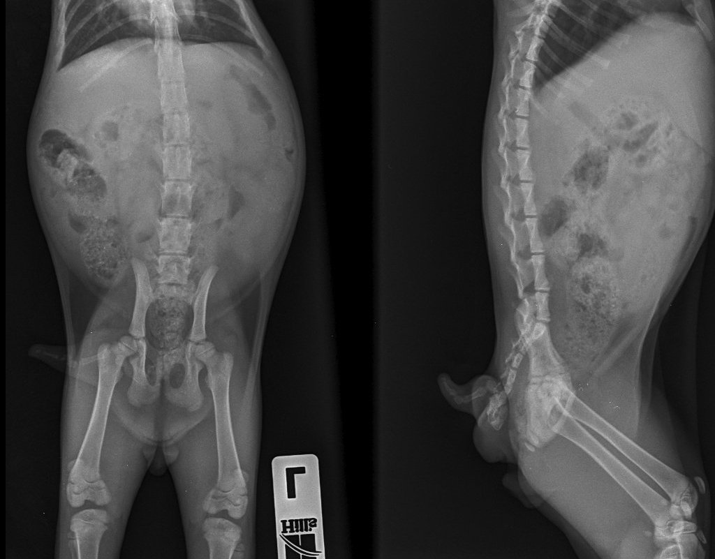Рентген, недержание кала и мочи у кота