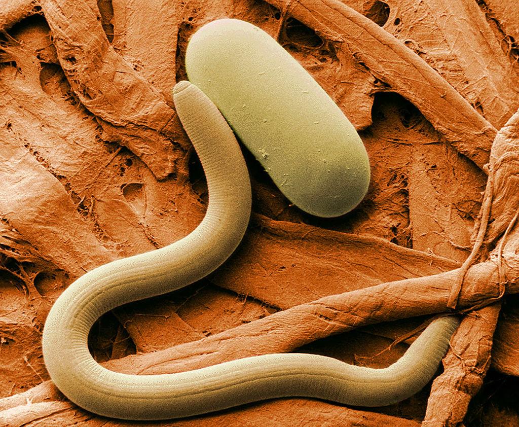 Безглазые черви-нематоды и яйцо