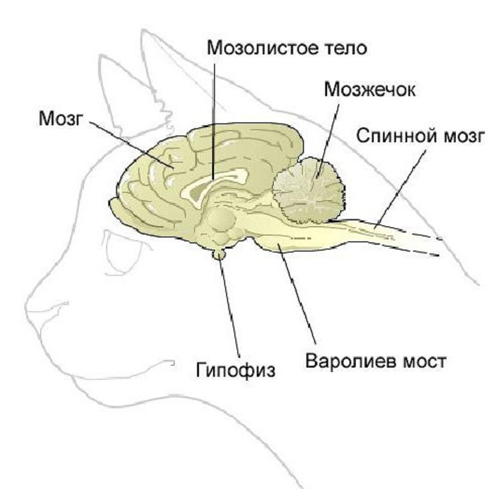 Иногда заболевание обусловлено нарушениями в головном мозге