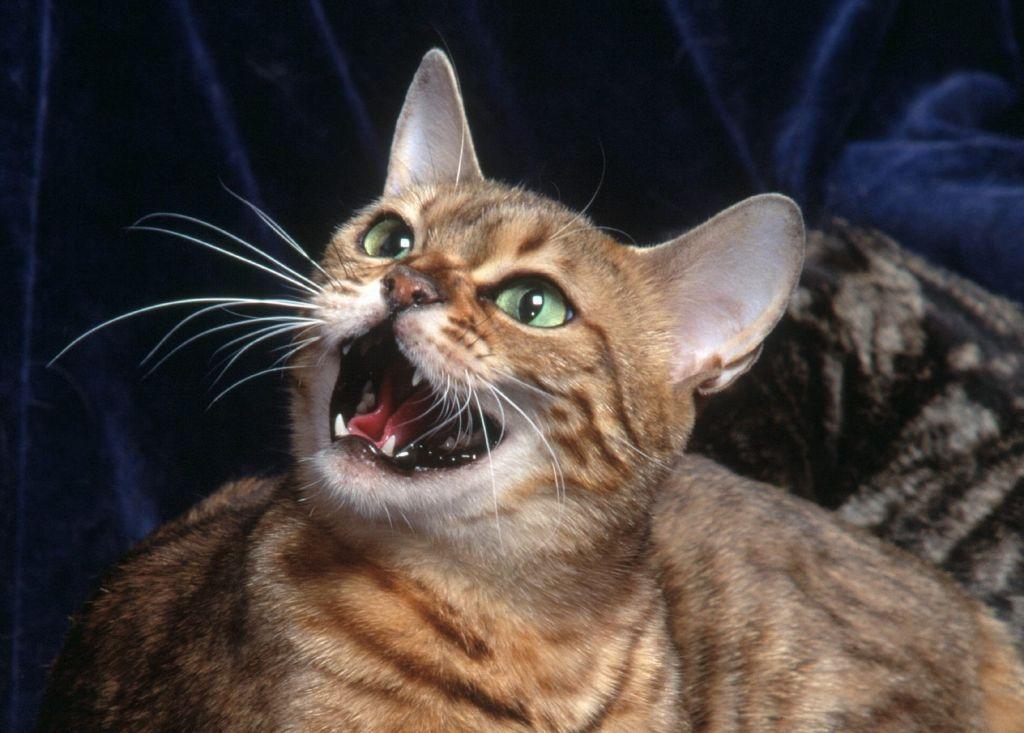 Кошка может быть сильно раздражена в результате сильных болей