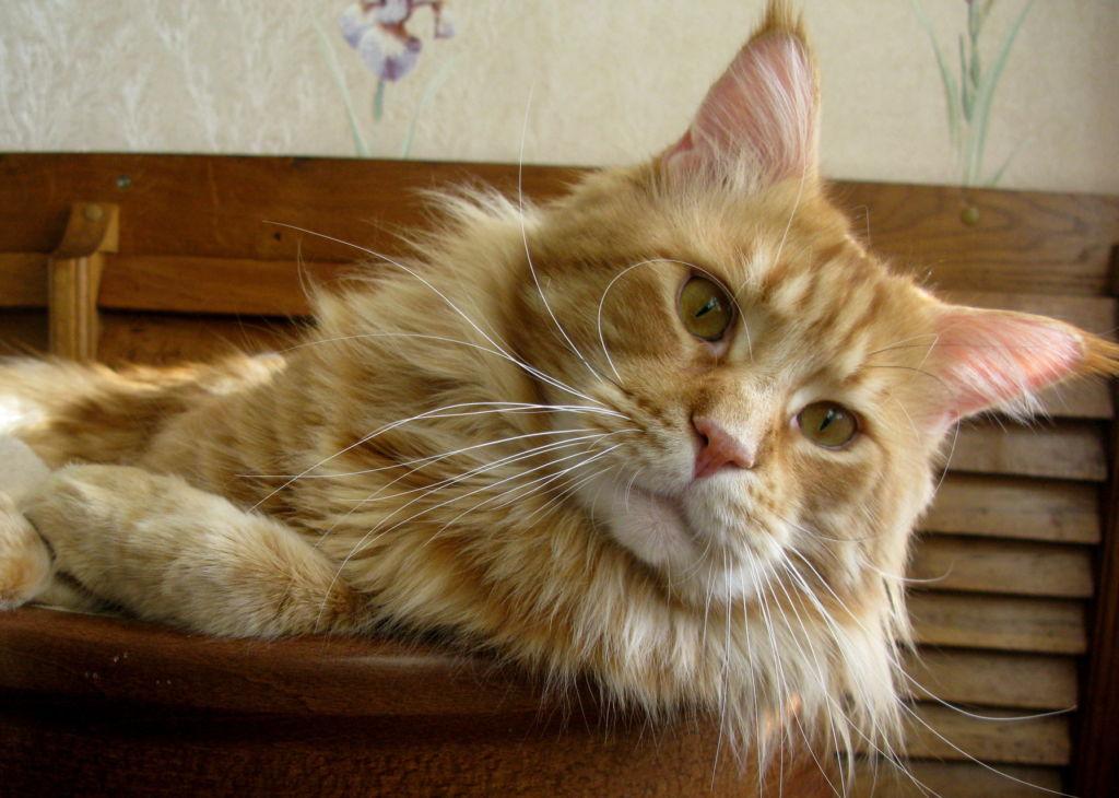 Инсульт у пожилых кошек – явление нередкое