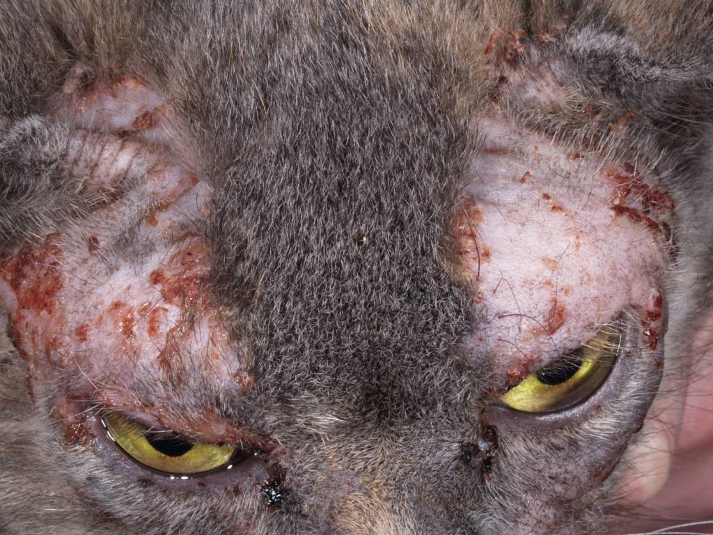 Дерматофития у кошек