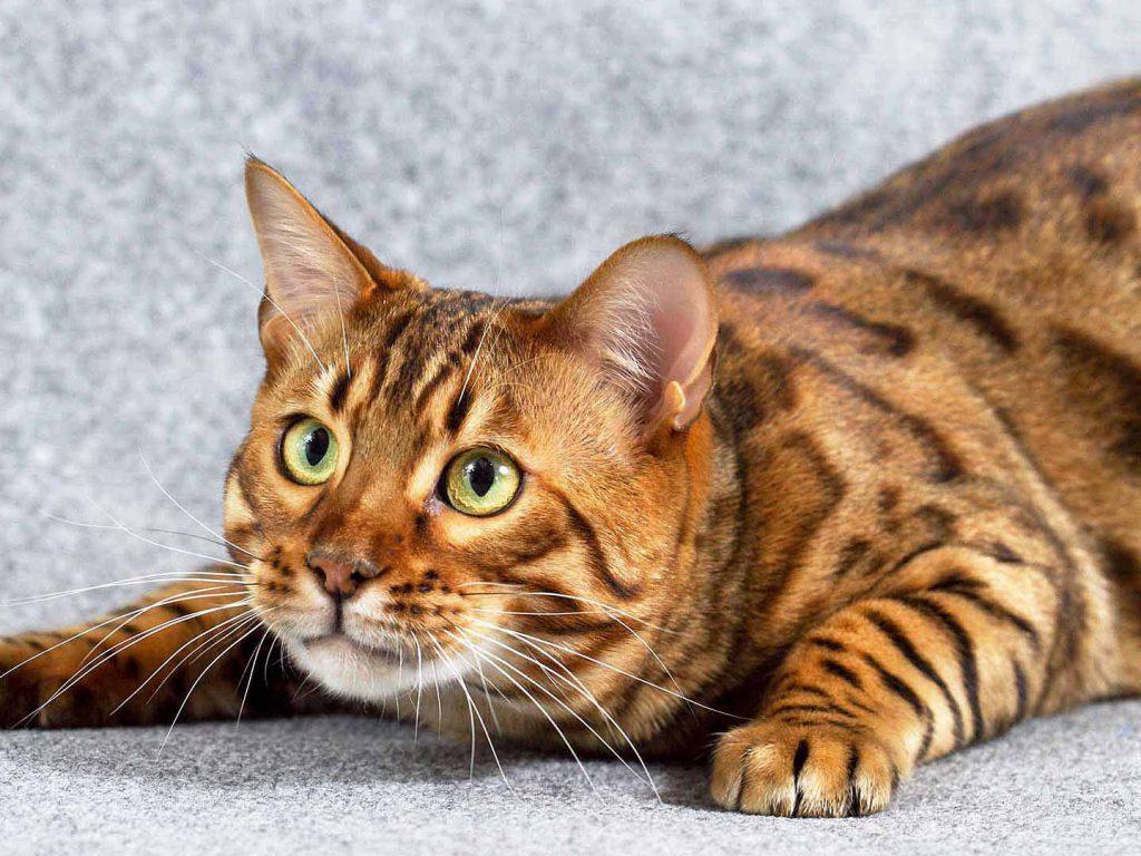 Единственное затруднение, с которым сталкиваются многие заводчики — лучший возраст для кастрации кота
