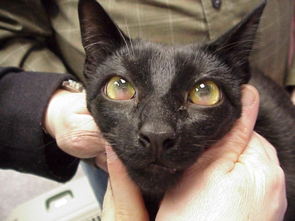 На начальной стадии болезни и кошки могут краснеть глаза