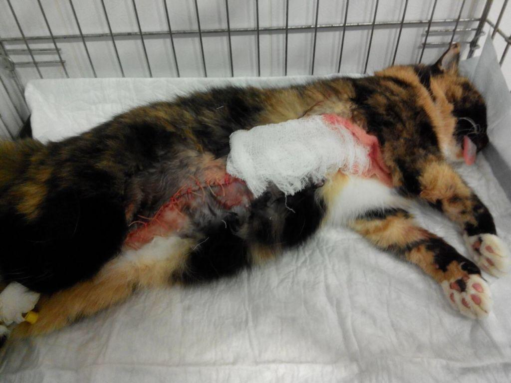 Рак молочных желез лидирует среди всех онкозаболеваний у кошек