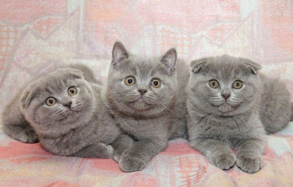 Шотландские котята а в середине страйт