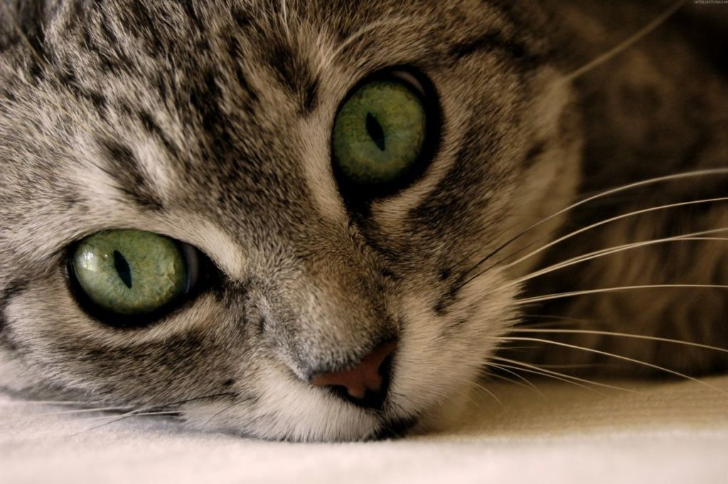 Острота зрения человека составляет 1,0, у кошки же этот показатель может достигать всего лишь 0,2 – 0,1