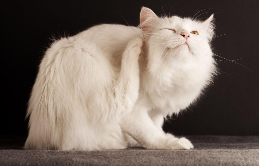 10 кожных болячек с запахом у кошек