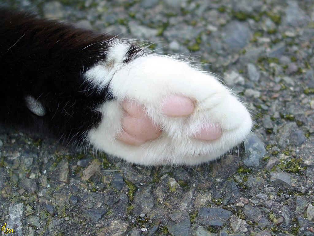 лапка кошки