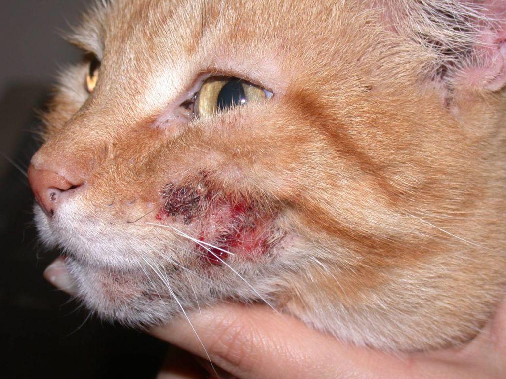 Мокнущий дерматит у кошек