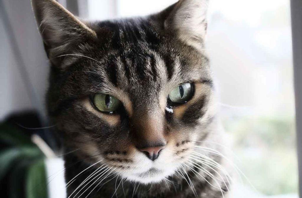 Дыхательная система кошек сходна с человеческой
