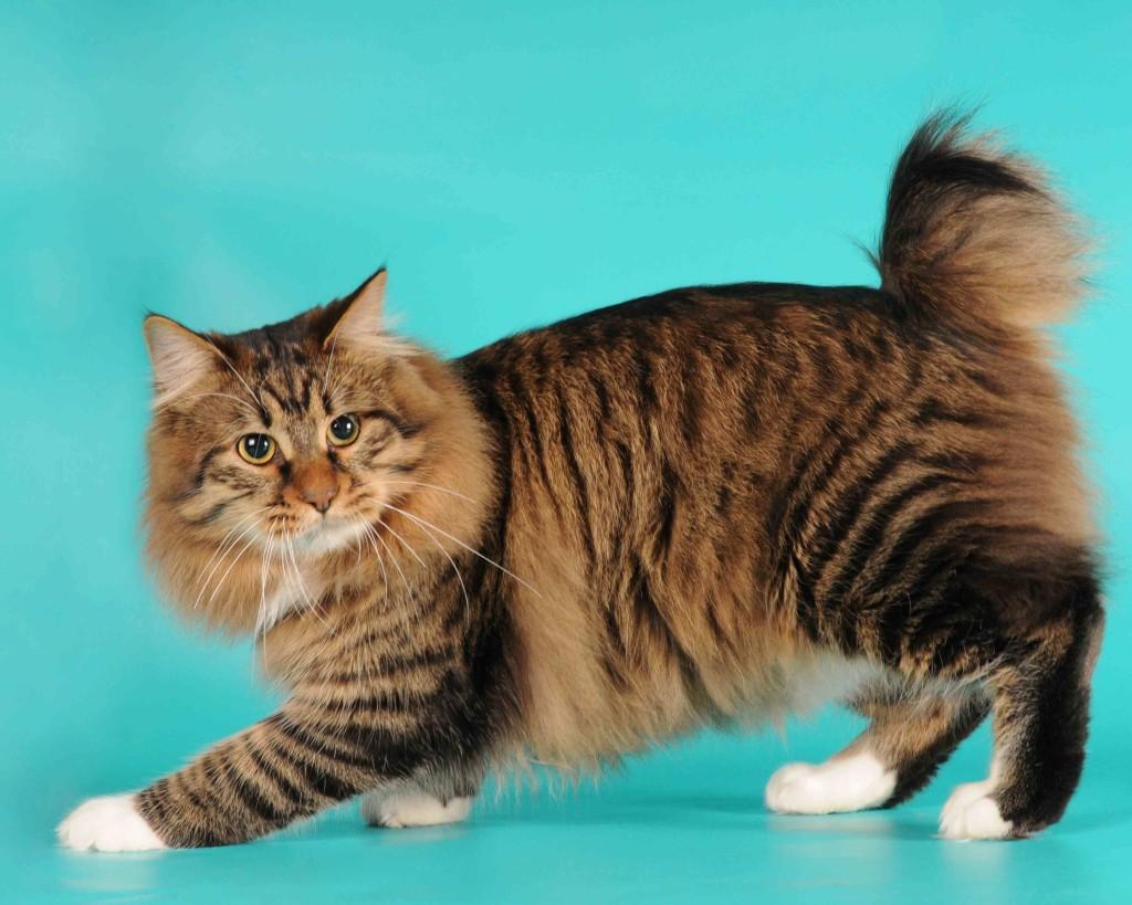 Порода полосатой кошки