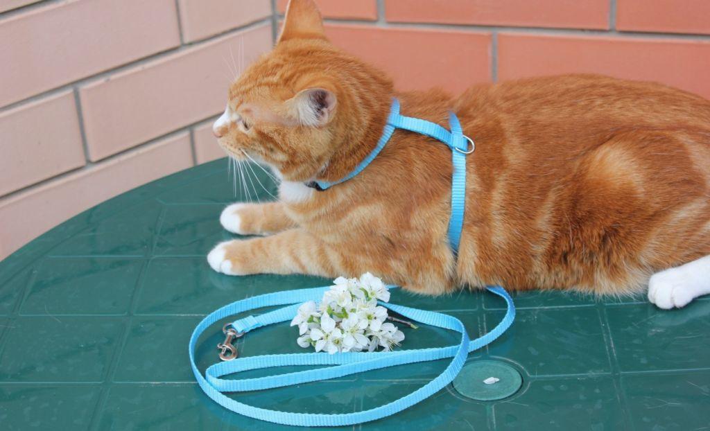 Голубая шлейка для кошек