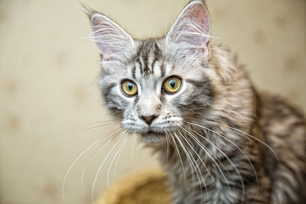 Усы у мейн куна длиннее, чем у обычных котов