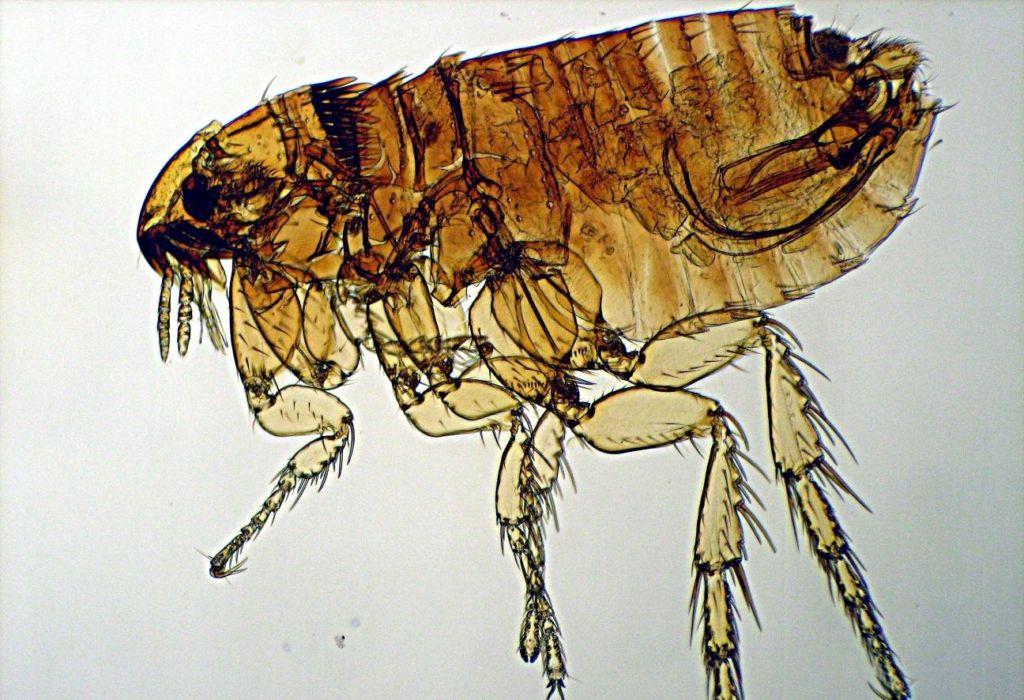 Блоха Ctenocephalus felis