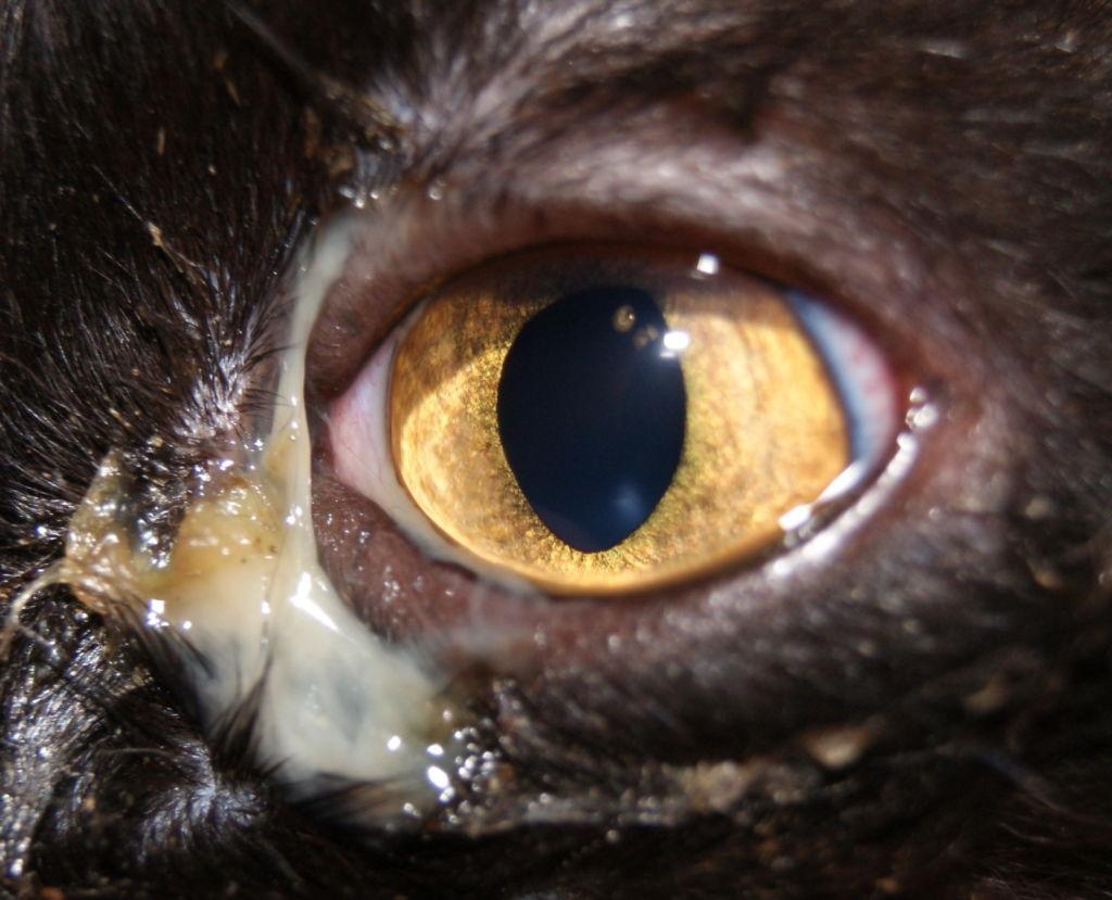 Гнойный конъюнктивит у кошки