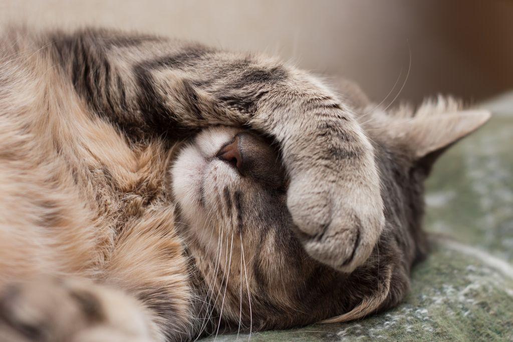 Причины рвоты у кошки с кровью кроются в наличии у животного гельминтов