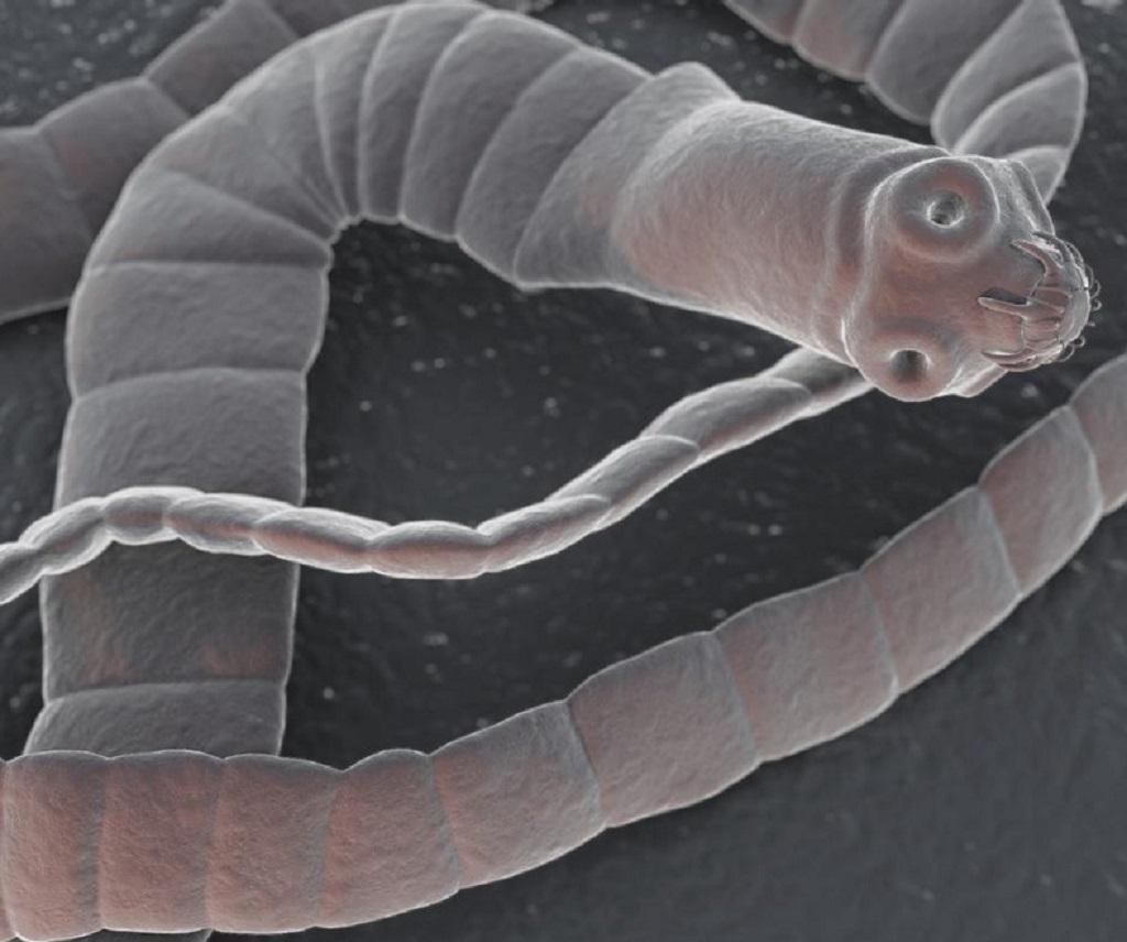 Ленточный червь (цестоды)