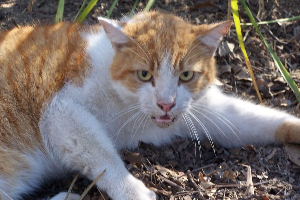 Бешенство у кошек - неизлечимая болезнь