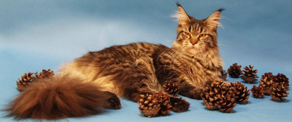 Выбирая корм для мейн-куна, предпочтение стоит отдавать качественным сортам, разработанным специально для крупных кошек
