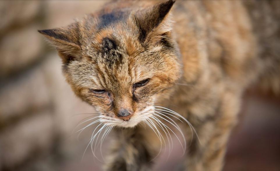 Самая старая кошка в мире (Крим-Пафф, 1967—2005)
