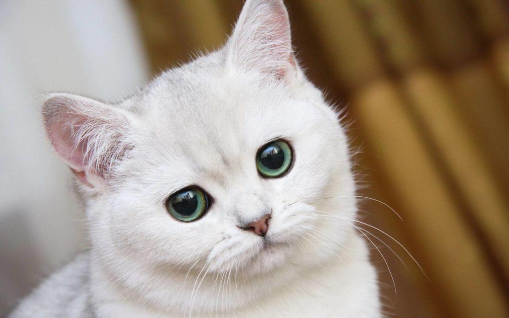 Кошачьи блохи опасны для человека