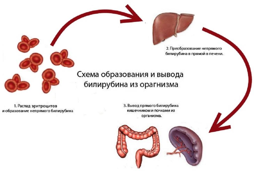 Схема образования билирубина в крови