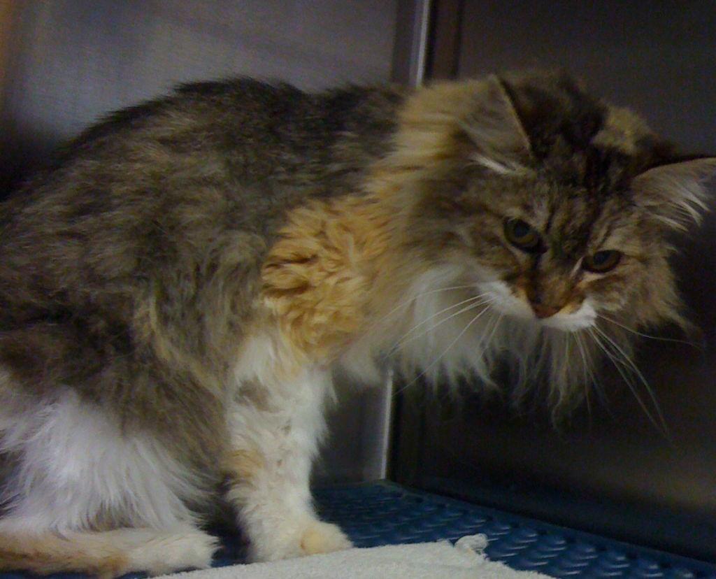 Саркома - наиболее агрессивный вид рака у кошек