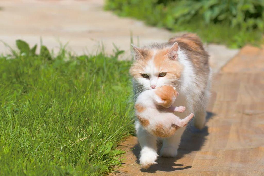 Кошка мать переносит котят держа зубами за холку