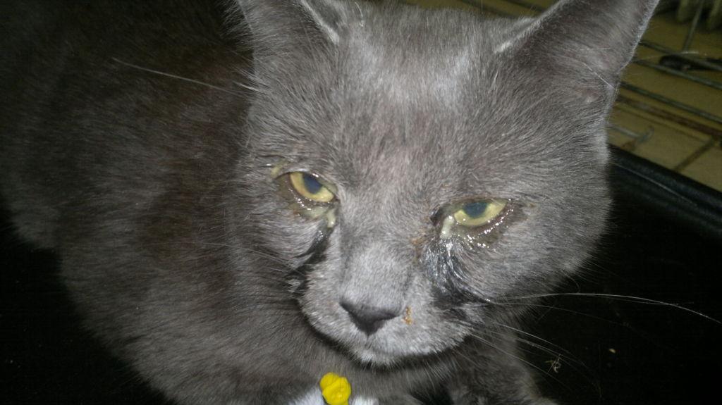 У кошек хламидиоз формирует хроническую инфекцию верхнего и нижнего отдела дыхательной системы