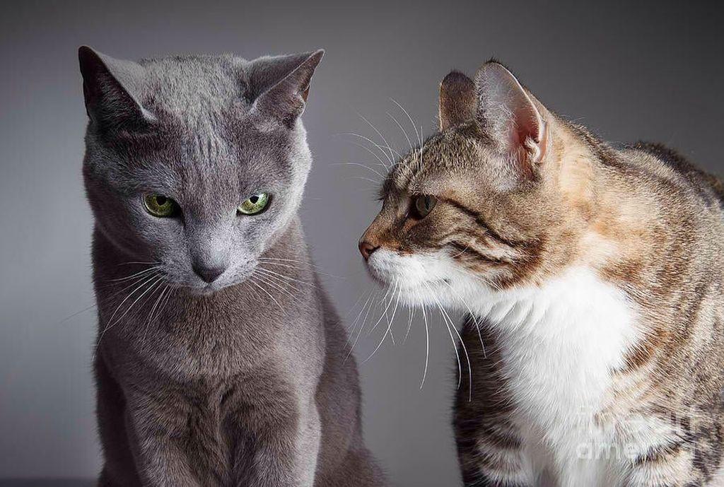 При попытке совместить двух взрослых кошек могут возникнуть сложности