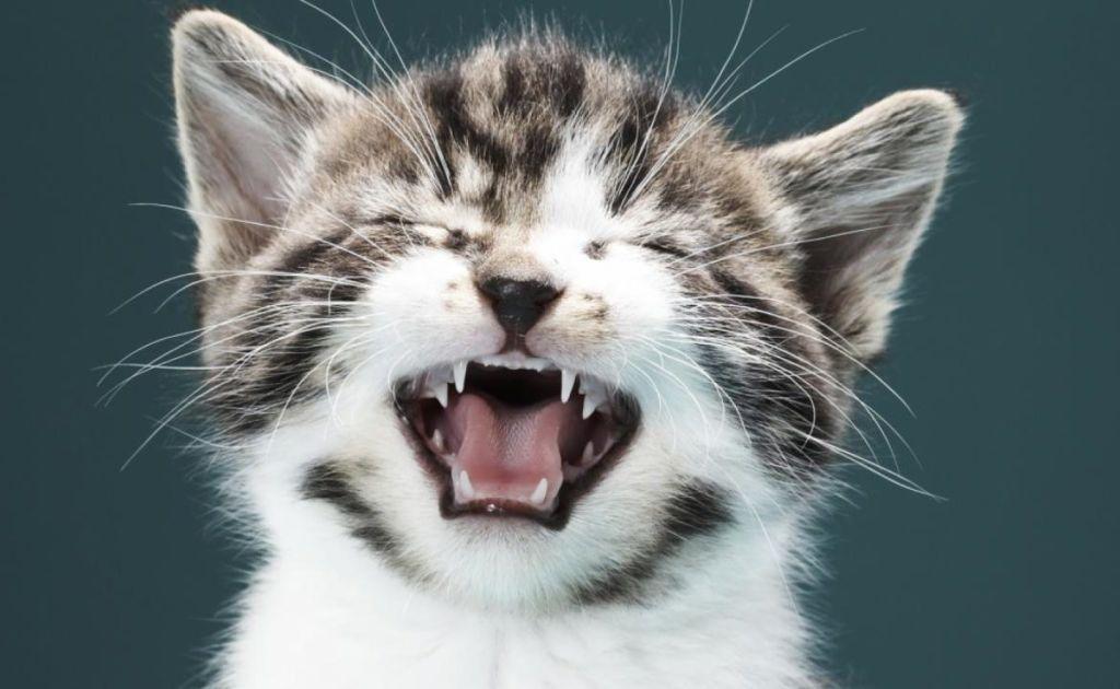 Постоянное чихание котенка может говорить о пищевой аллергии
