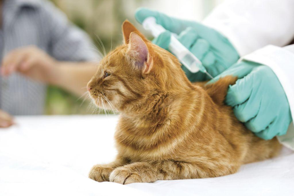 Для профилактики нужно своевременно проводить вакцинацию кошки от FIP