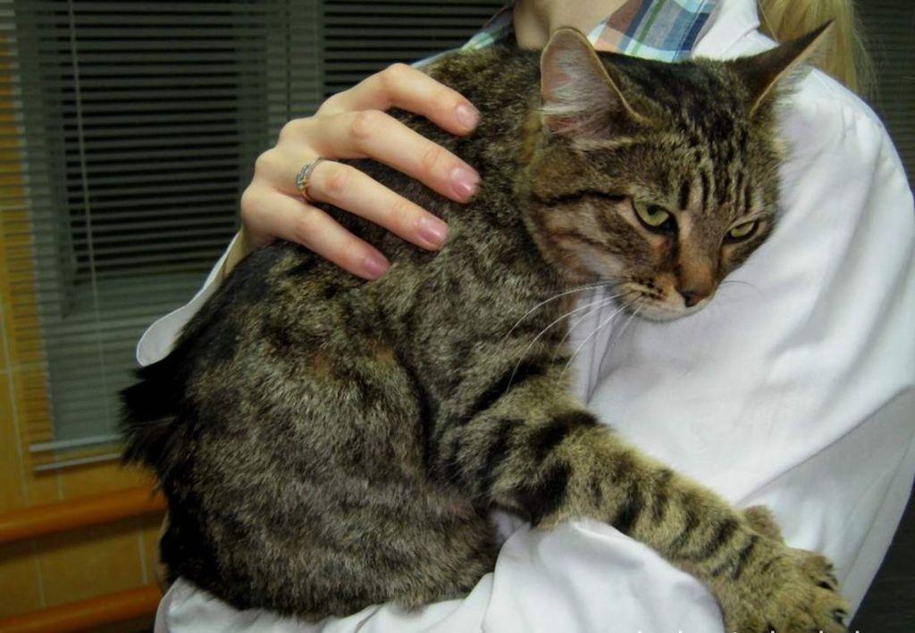 Кошкам с диагностированной кардиомиопатией требуется постоянный покой