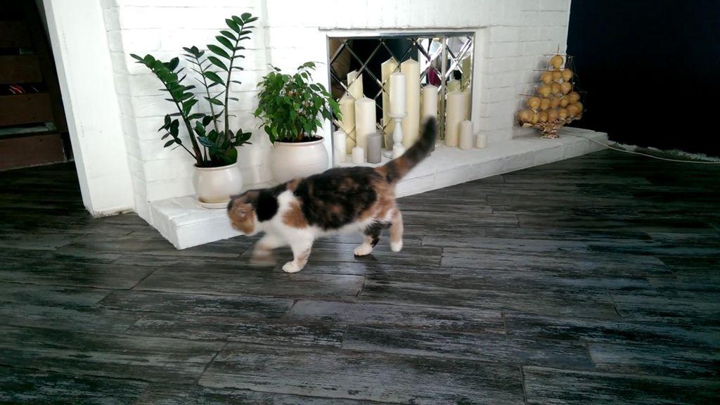Если кошка припадает на заднюю лапу, это может говорить о вывихе