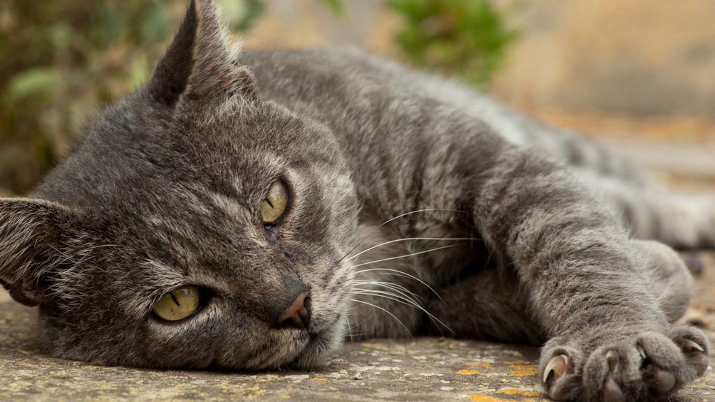 Правильное лечение микроспории у кошек дома