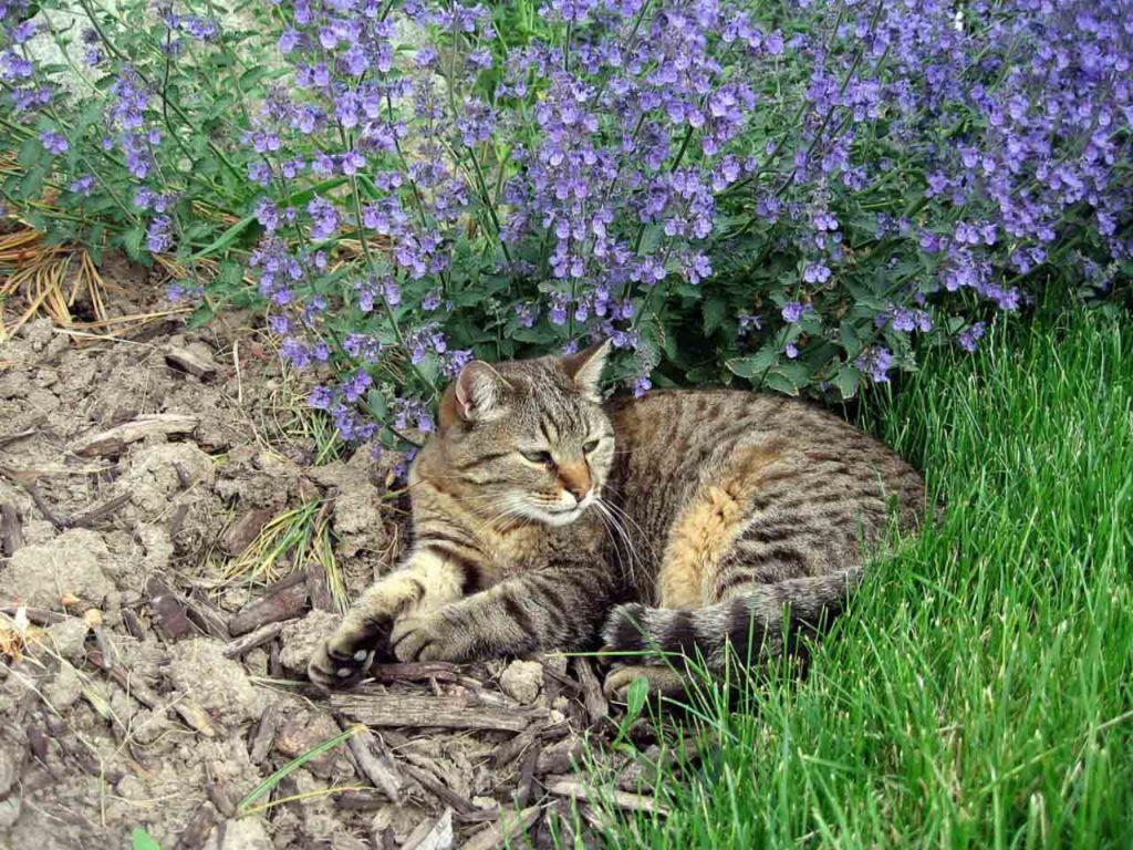 Мята может действовать не на всех кошек