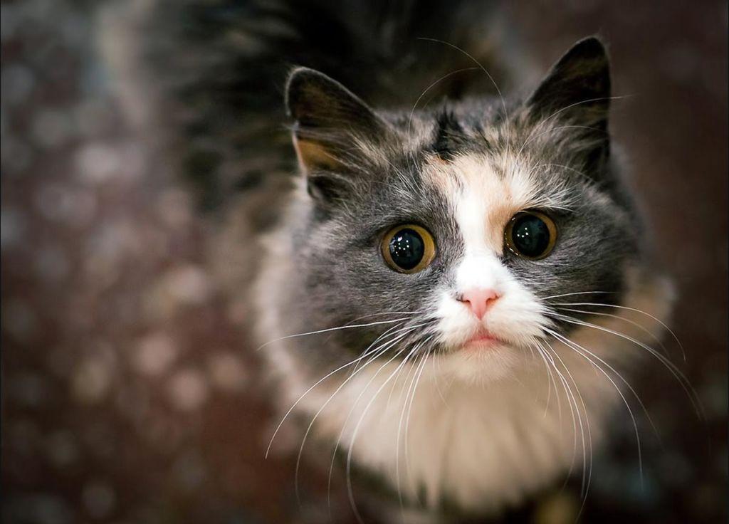 Как и чем лечить стригущий лишай или дерматофитоз у кошек