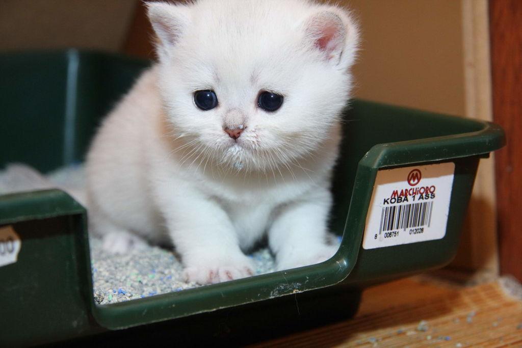 Самым опасным считается запор у новорожденных котят