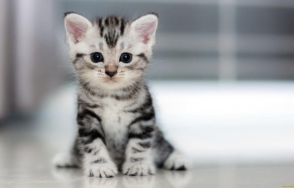 Лучше всего брать котенка, когда ему уже исполнилось 3 месяца, тогда приучить к лотку будет проще