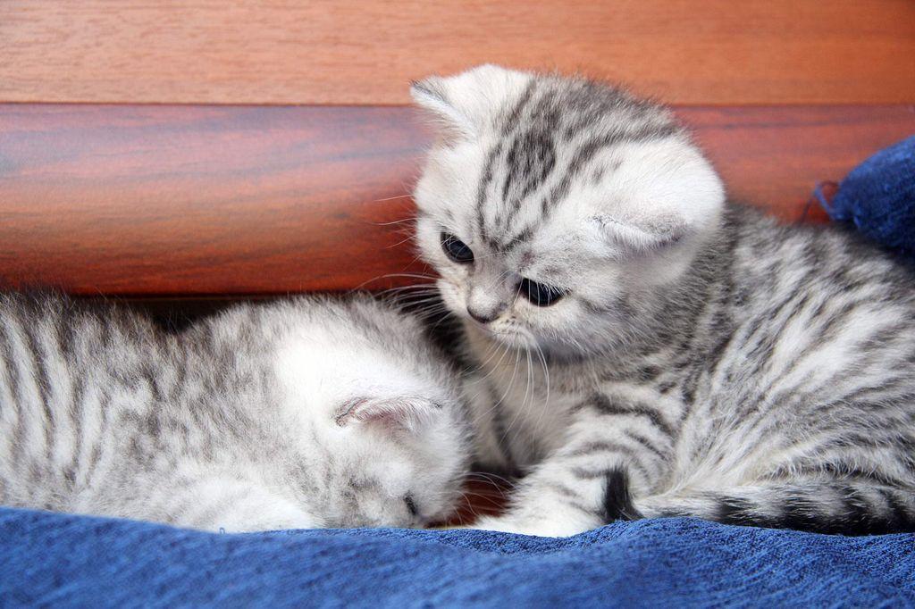 Для здорового развития маленьким котятам необходим особенный состав корма