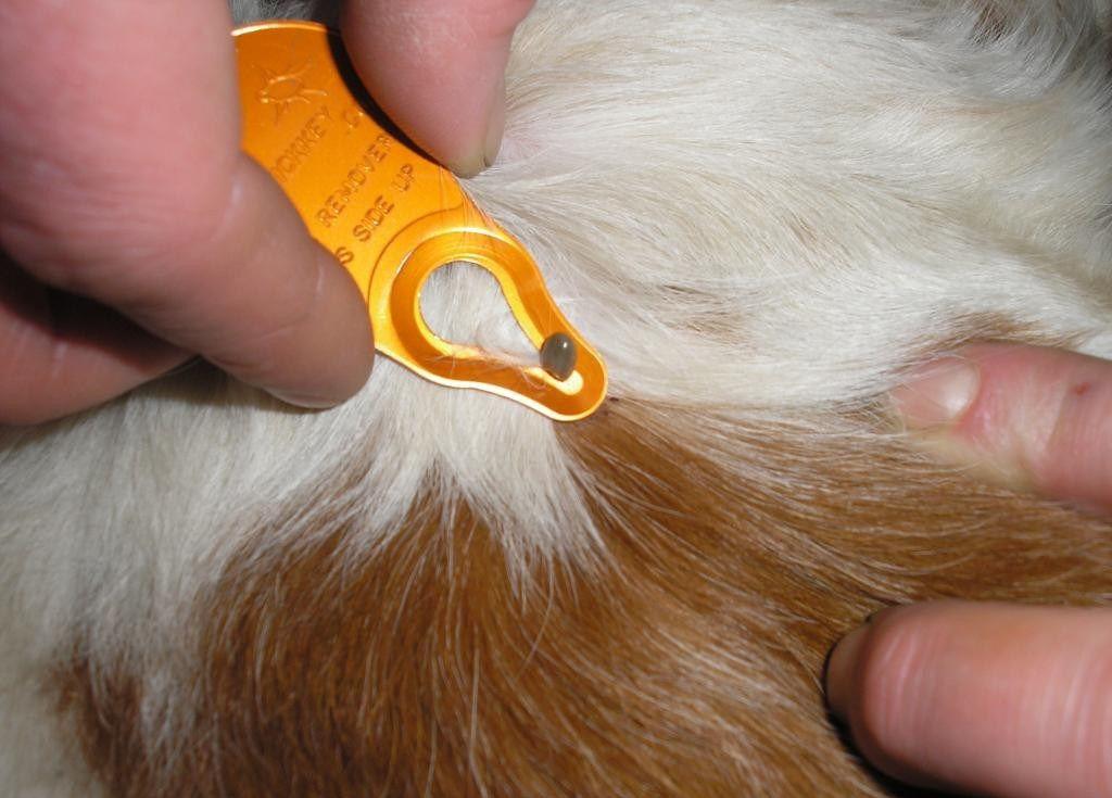 У ветеринаров есть специальные устройства для того, чтобы достать клеща
